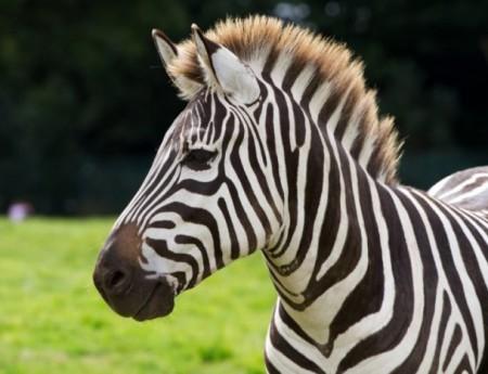 В Японии на территорию гольф-клуба проникла зебра