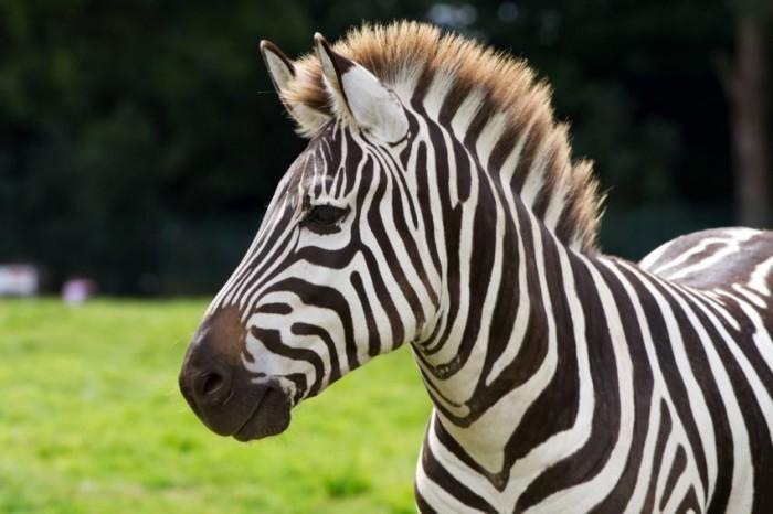 zebra_d_850