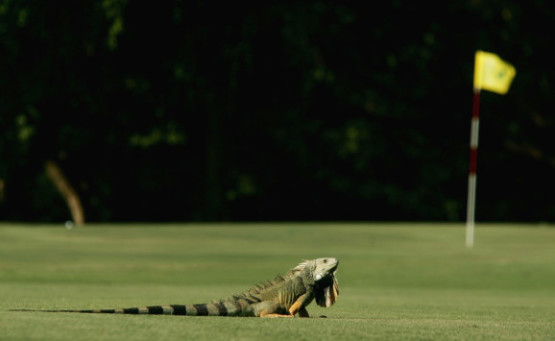 RIO GRANDE, PUERTO RICO - OCTOBER 26: An Iguana sits on the fourth hole of the Ocean course during practice for the Eisenhower trophy, The World Amateur Team Championships, held at The Westin Rio Mar Beach Resort on October 26, 2004 in Puerto Rico. (Photo by Richard Heathcote/Getty Images)