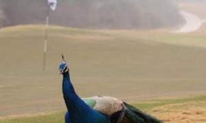 Осторожно! Животные на поле для гольфа