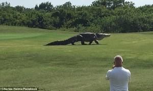 Монстр-аллигатор напугал гольфистов